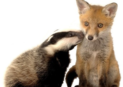 badger-and-fox