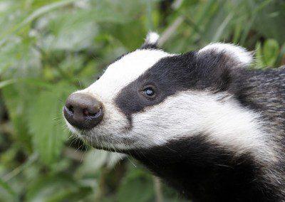 badger-slide