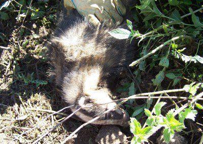 Snared badger