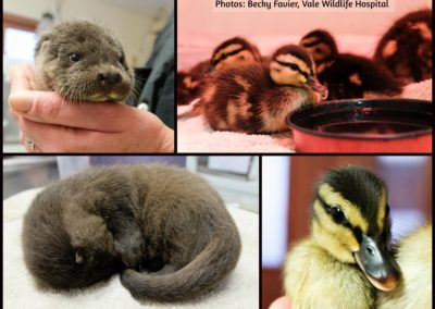 otter-duckling-collage