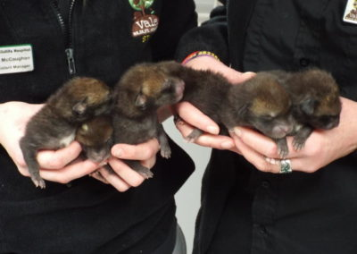 fox cubs 10 days ish 12 march 2017.001 (2)