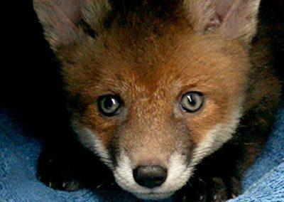fox cubs dean 15 april 2017011 (2)